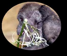 Babygorilla